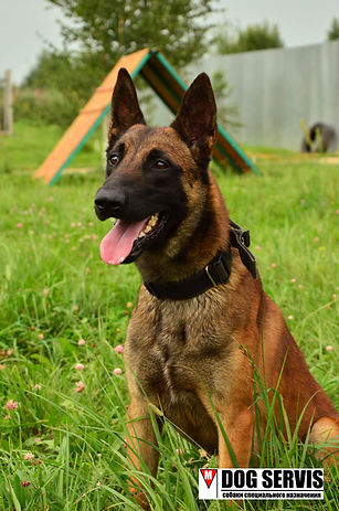 дог сервис, подготовка собак по поску вв, подготовка минно-розыскных собак, дрессировка собак, подготовка собак по поиску нв