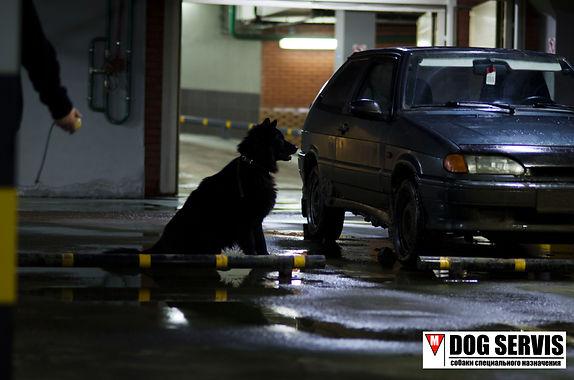 Тренирвка собак по поиску ВВ, трнировка собак на подземном паркинге, тренировка собак по поиску взрывчатых веществ, кинолгический центр, дог сервис, dog servis, working dog, k9