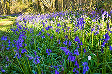 bluebells-kate.png