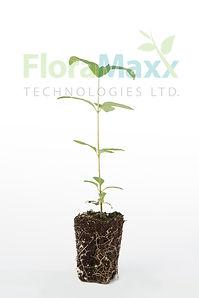 FloraMaxx Starter Plants