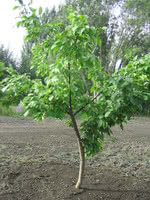 Revving up the Mustang®: A New Prunus Rootstock