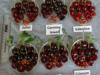 The Romance Series of Dwarf Sour Cherries