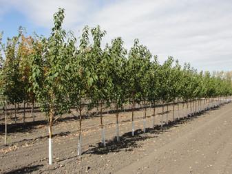 Klondike Tree Rush
