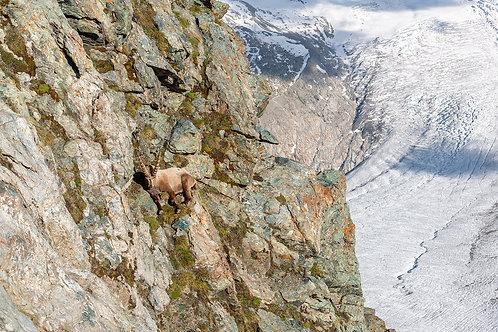 """TABLEAU   Nature """"Bouquetin des Alpes"""" X"""