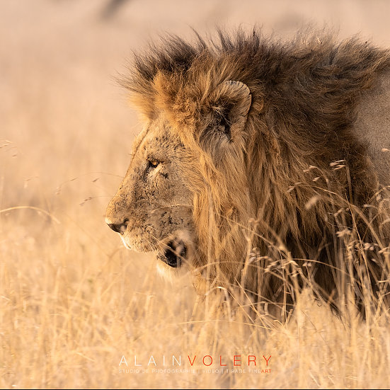 SOUTH AFRICA | LE ROI LION
