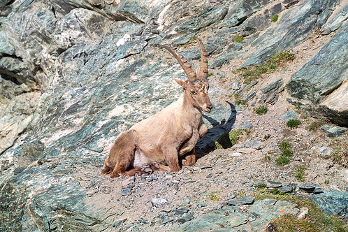 "TABLEAU   Nature ""Bouquetin des Alpes"" III"