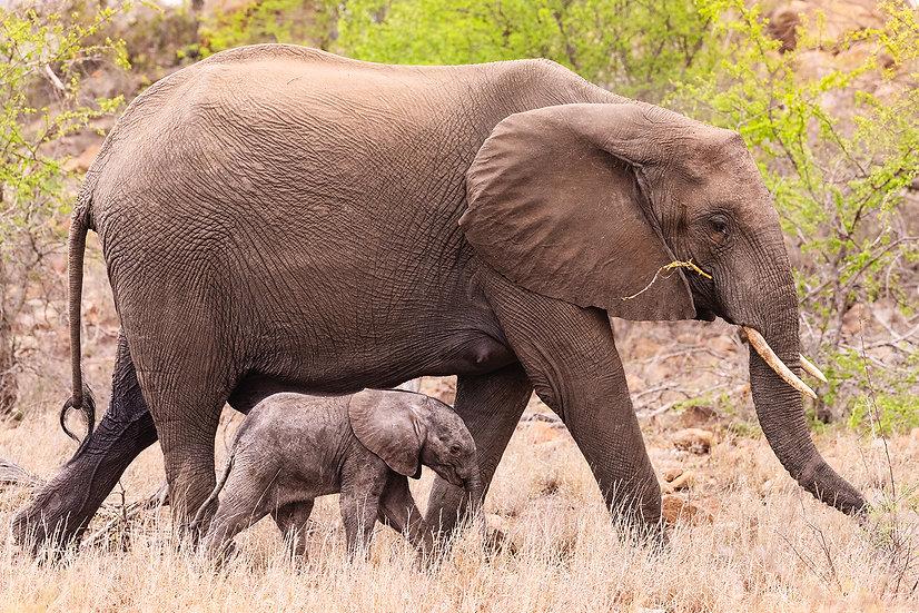 SOUTH AFRICA | BABY ELEFANTIS