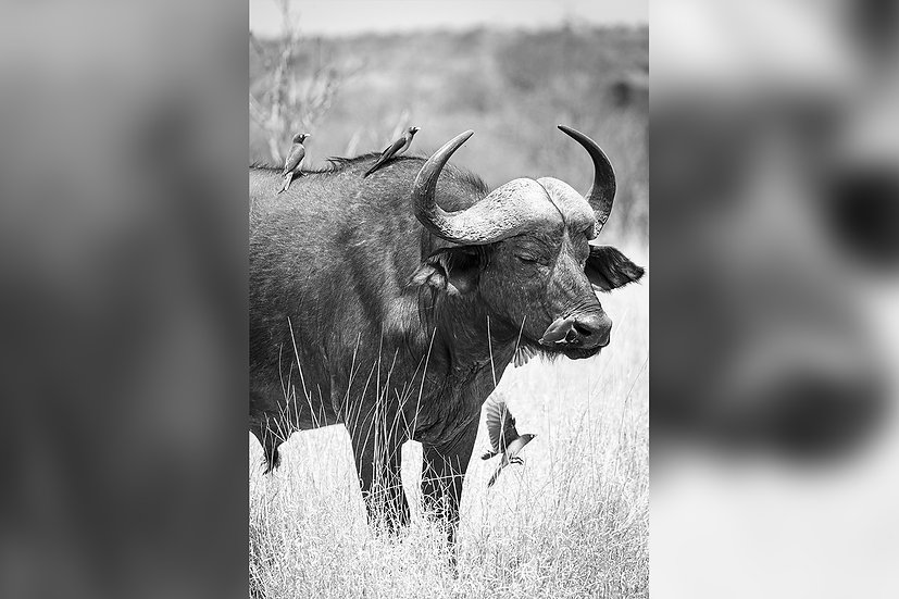"TABLEAU | SAFARI ""BUFFALO"" - IV"