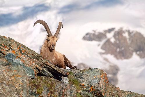 """TABLEAU   Nature """"Bouquetin des Alpes"""" XXVII"""