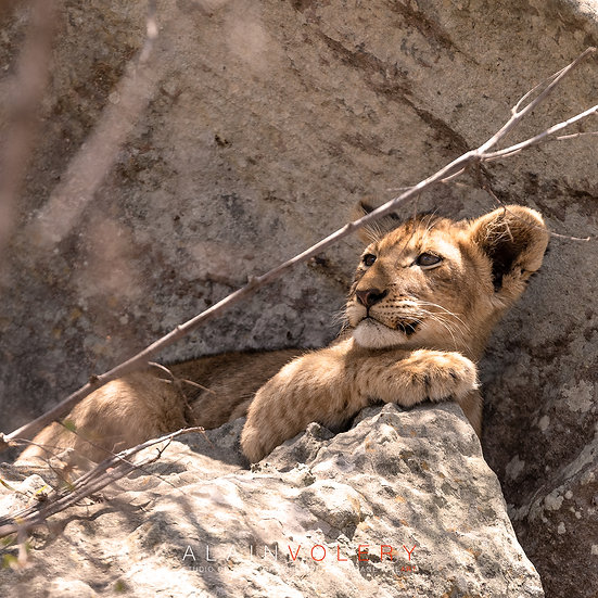 SOUTH AFRICA   BABY LION