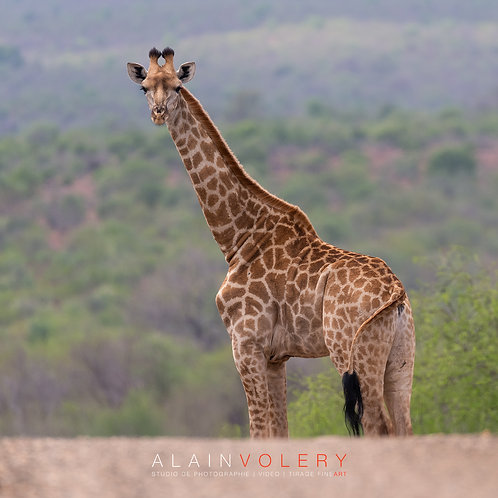 SOUTH AFRICA | BYE GIRAFE