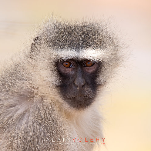 SOUTH AFRICA | MONKEY BANANA