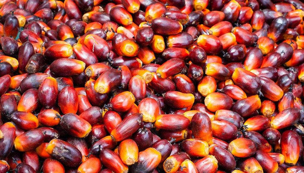 oil palm.jpg