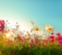 Beautiful cosmos flowers blooming in gar