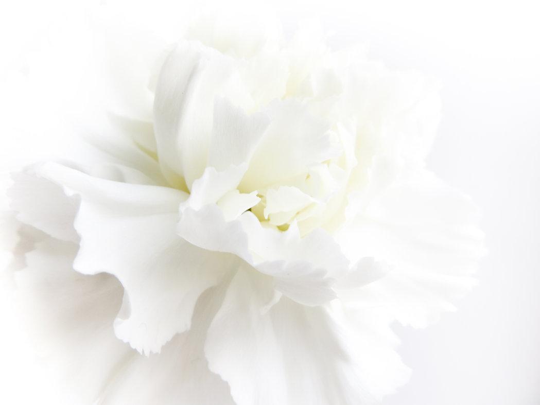 White flowers background. Macro of white