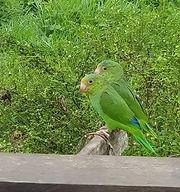 Ecotourism Peruvian Amazon - El Sira Communal Reservere - Birdwatching in Puerto Inca, Huanuco, Peru