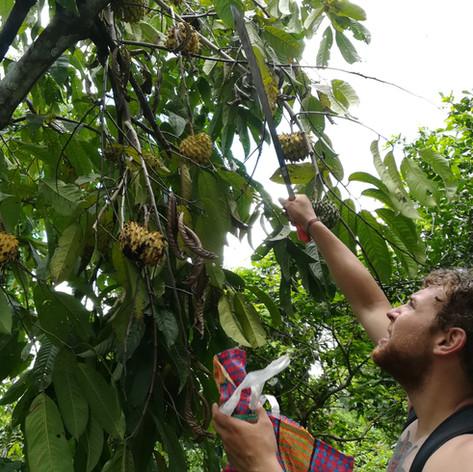 Fruits - Soursop - Chirimoya