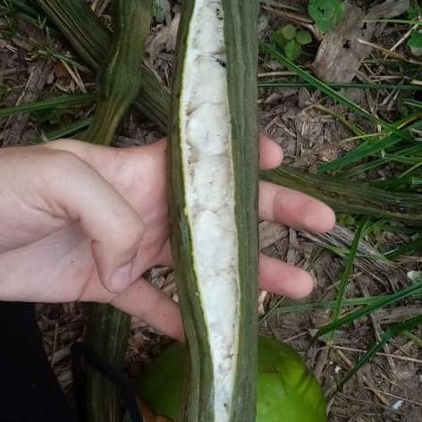 Fruits - Pacae - Pacay
