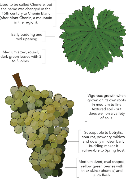 chenin-vineyard.png