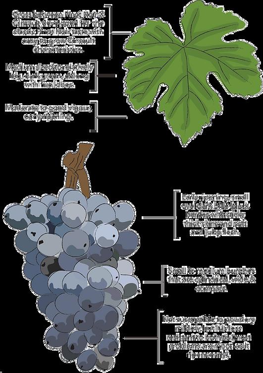 pinotage-vineyard.png
