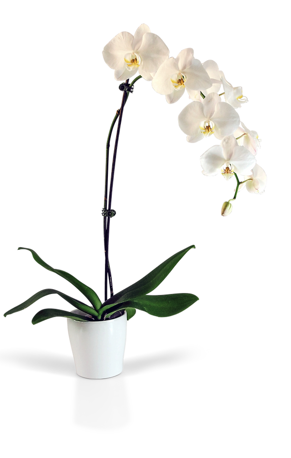 orchid-1.png