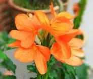 Crossandra or kanakambaram flower plant