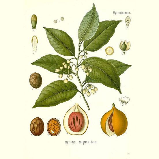 Muscade noix (sans myristicine)