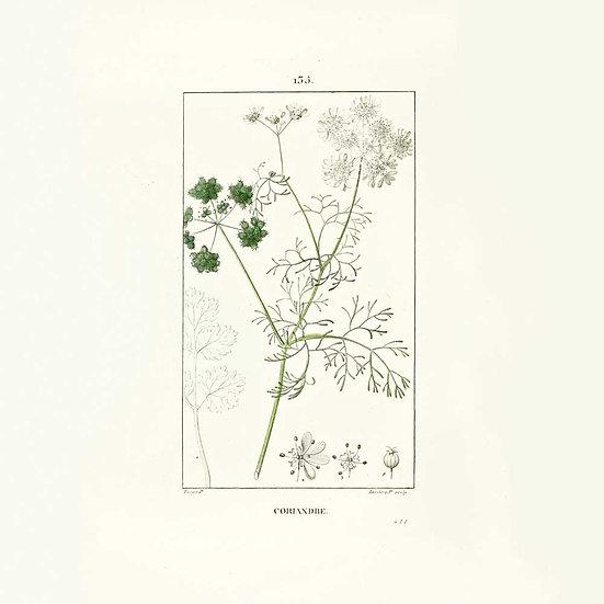 Coriandre feuilles