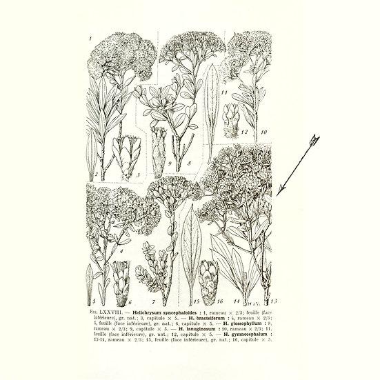 Hélichryse femelle