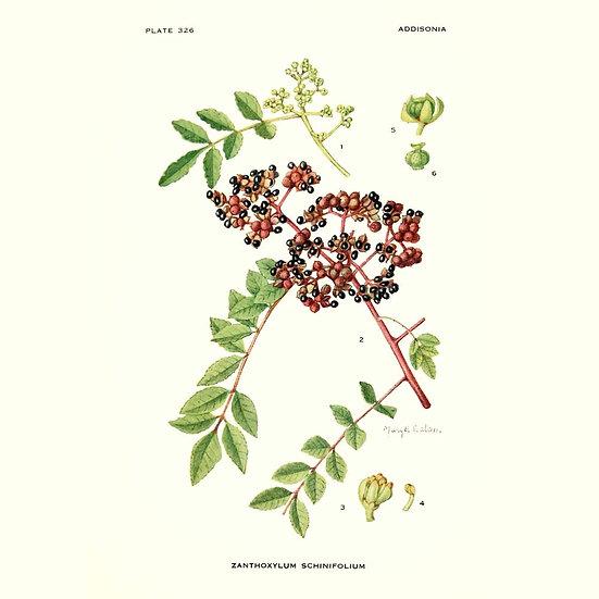 Poivre du Seichuan (ou zanthoxylum alatum)