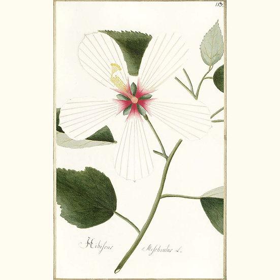 Ambrette graines (Hibiscus)