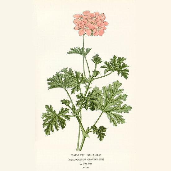 Géranium Bourbon Rosat