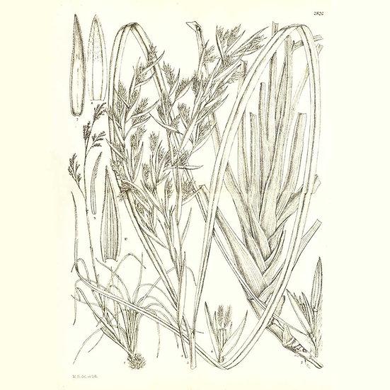 Citronnelle de Madagascar (à myrcène)