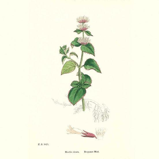 Menthe bergamote (ou citronnée)