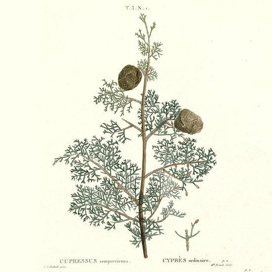 Cyprès de Provence ou cyprès toujours vert