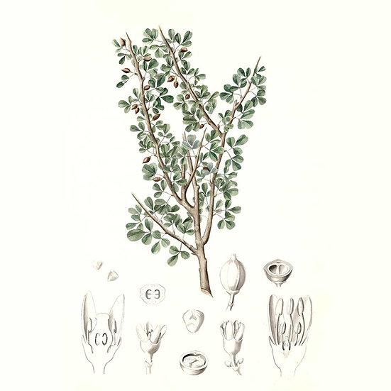 Opoponax ou myrrhe douce