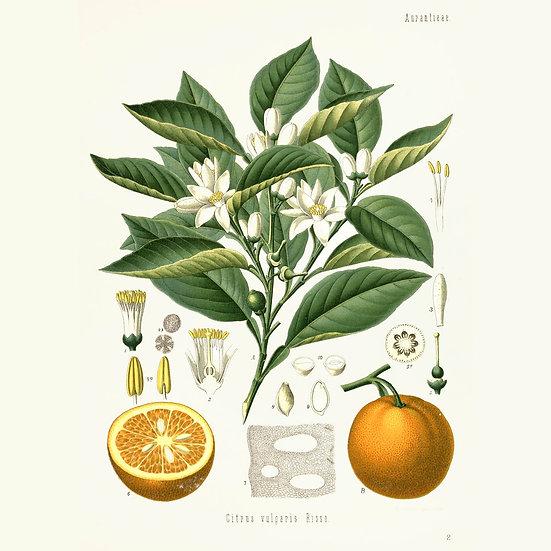 Orange amère verte