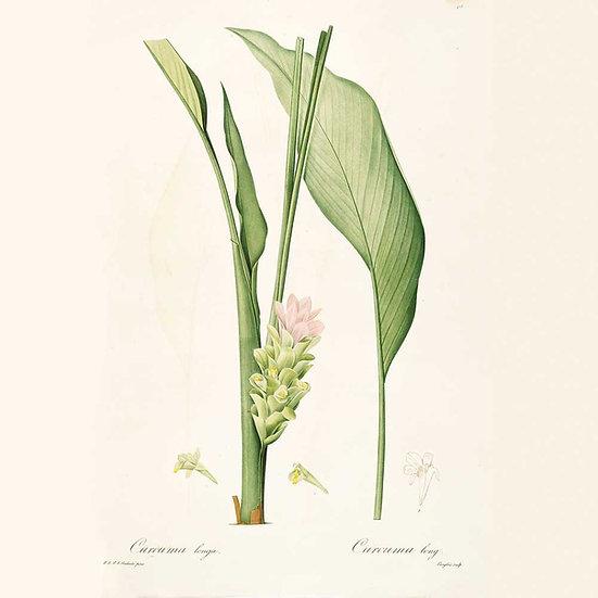 Curcuma frais