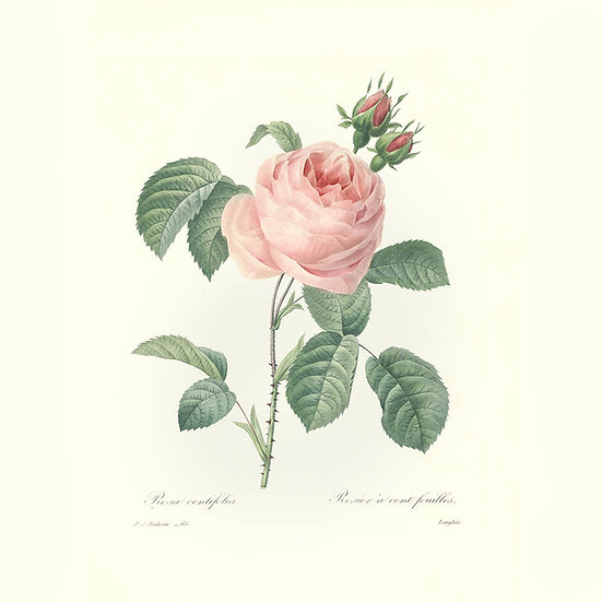 Rose centifolia absolue (rose de mai)