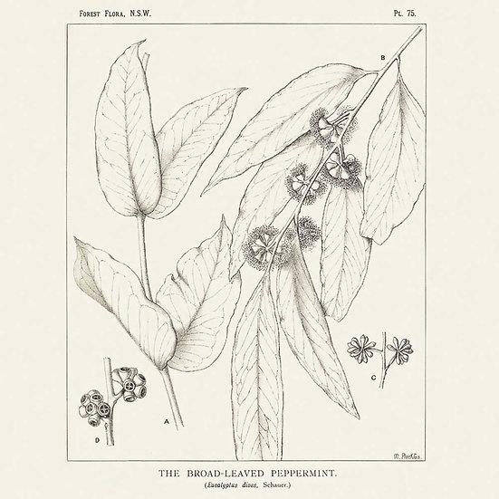 Eucalyptus dives (ou mentholé)