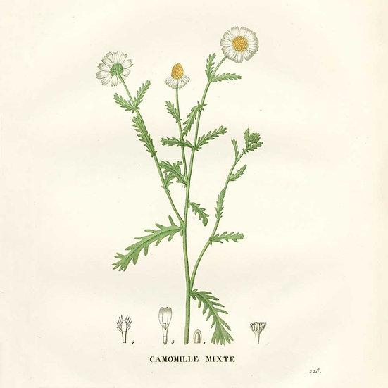 Camomille sauvage (ou orménie)