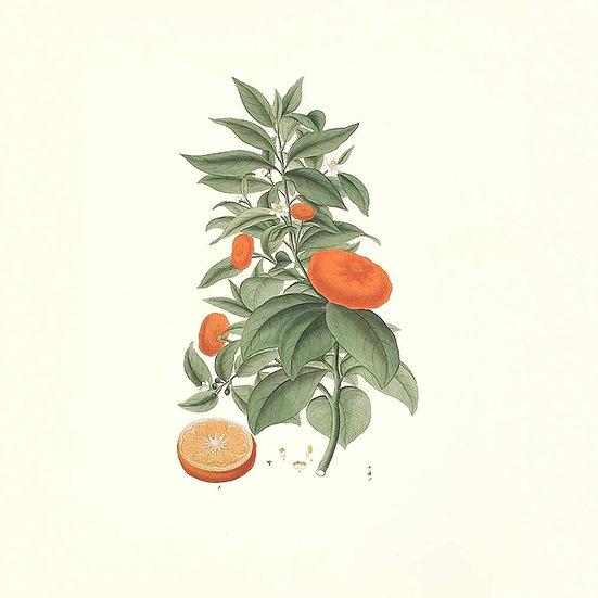 Mandarine rouge
