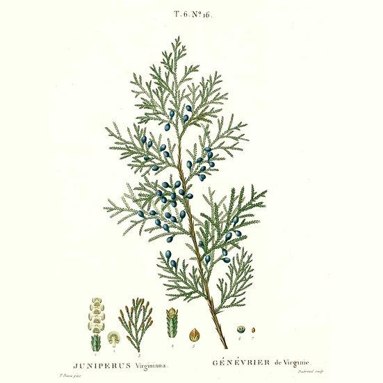 Genévrier de Virginie (ou cèdre de Virginie ou cèdre rouge)