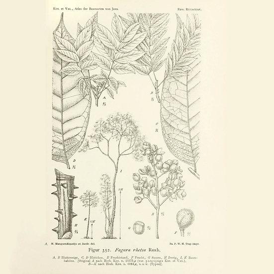 Clavalier de l'Inde Zanthoxylum rhetsa