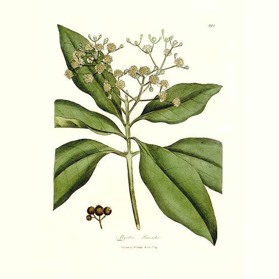 Piment (ou quatre-épices)