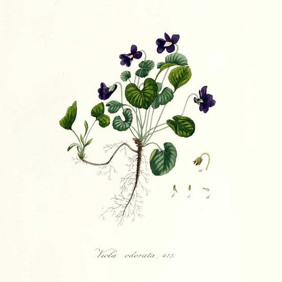 Violette feuilles