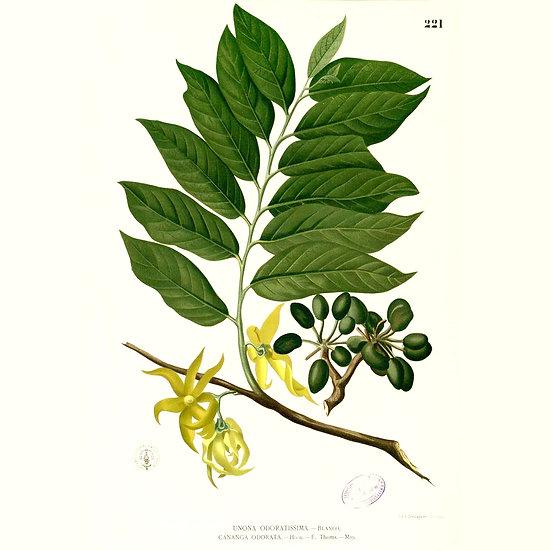 Ylang Ylang Complète