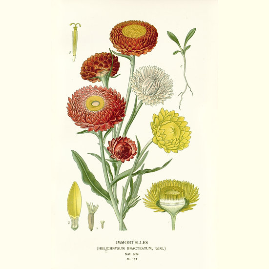 Hélichryse mâle