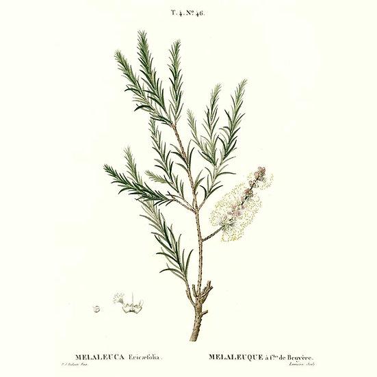 Tea tree à linalol (ou rosalina)
