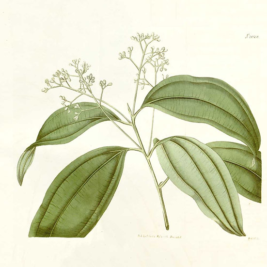 Cannelle de Ceylan feuilles